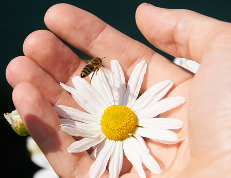 daisy: White daisy and bee in a hand