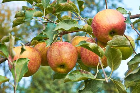 piebald: Branch of apple tree full of ripe piebald fruits
