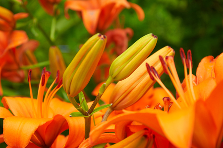 lily flowers: burgeons of  orange lily flowers in the garden