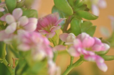 Macro photography of fragile pink flower of Kalanchoe