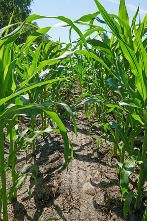 corn rows: Green rows on corn field under the blue sky