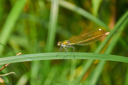 dragonfly wing: Golden dragonfly is sitting on the stalk of grass