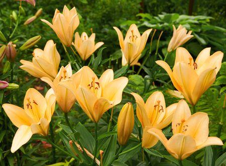 lilia: Bright orange bush of fragile lily flowers