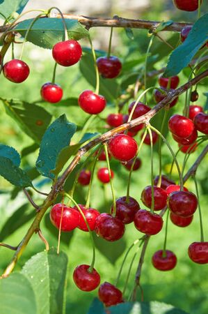 waterdrops: Bright red cherries with waterdrops in sunlight