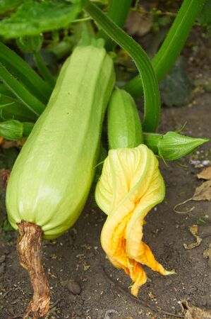 ovaire: Ripe marrow and ovary with flower on the bush
