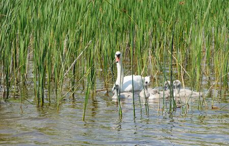 cygnet: Family of white swans on the water