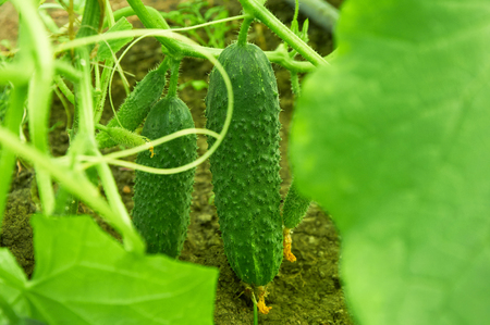 several: Several thorny cucumbers growing on the bush Stock Photo