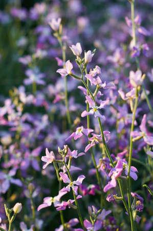 gillyflower: flowers of gillyflower or night violet on flowerbed