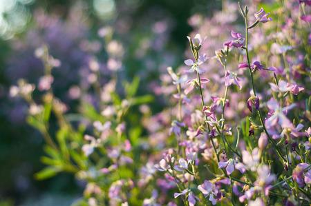 gillyflower: tender flowers of gillyflower or night violet in evening sunlight Stock Photo