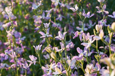 gillyflower: tender flowers of gillyfloweror night violet in evening sunlight