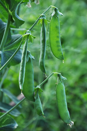 green fields: Close up view of semitransparent maturing pea pods on the stem Stock Photo