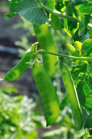 maturing: Close up view of semitransparent maturing pea pods on the stem Stock Photo