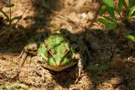 lessonae: Green pond frog  is sitting on the sand