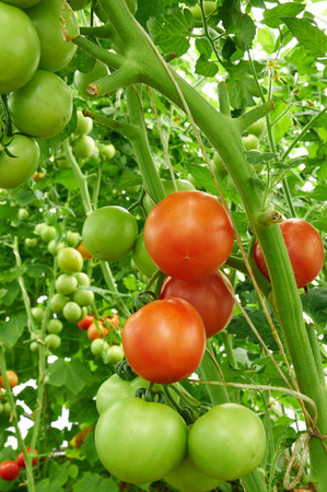 hothouse: Many tomatoes are growing in a hothouse