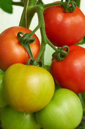 ripening: Different stage of ripening tomatoes in one bunch