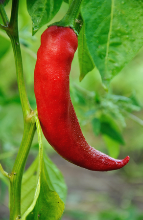 Bush of red long hot pepper growing Stock Photo