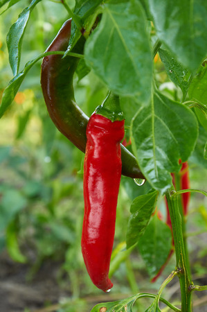 Bush of red long hot pepper after rain