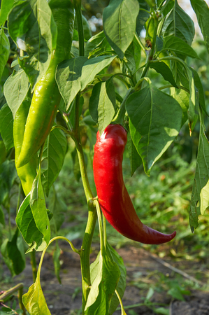 bush pepper: Bush of red long hot pepper growing Stock Photo