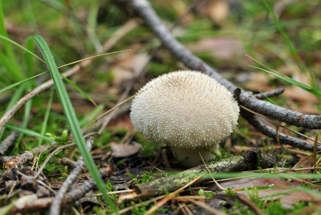 Lycoperdon perlatum, popularly known as the common puffball, warted puffball, gem-studded puffball, or the devils snuff-box