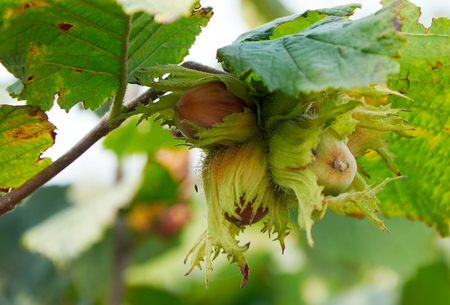 custer of huzelnuts on the tree growing
