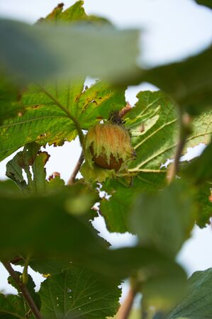 avellan: One ripe huzelnut on the tree growing Stock Photo