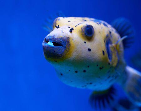 Arothron nigropunctatus yellow. Poisonous fugy fish in blue water