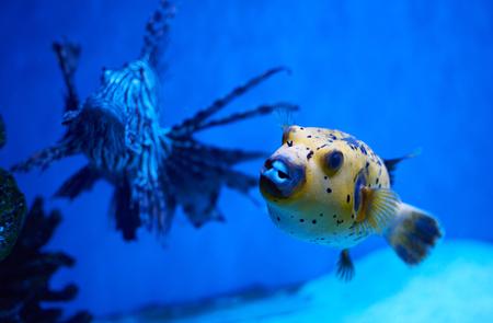 Arothron nigropunctatus yellow. Poisonous fugy fish and red lionfish behind