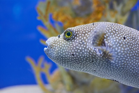 Arothron nigropunctatus. Dotted fugu fish beside  coral