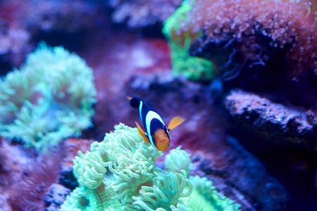Famous ocellaris clownfish swimming near an anemona