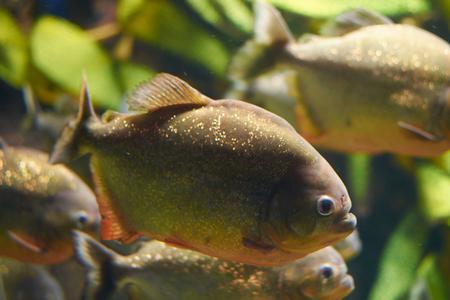 Myths surround red piranha in an aquarium