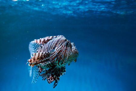 Pterois (lionfish, zebrafish so on) with long venomous fins in blue water