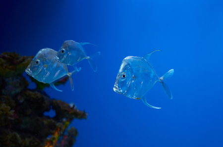 A game fish lookdown (Selene vomer) in blue water