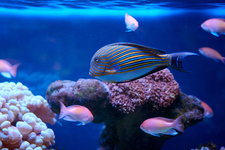 Acanthuridae from surgeonfishes family behind coral in aquarium Stock Photo