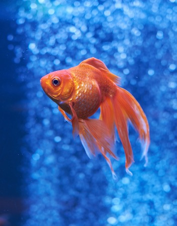 Goldfish in blue water and out of focus air bubbles behind Stock Photo