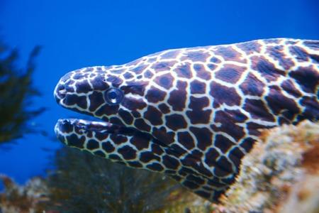 Laced moray eel (Gymnothorax favagineus) head close-up Reklamní fotografie