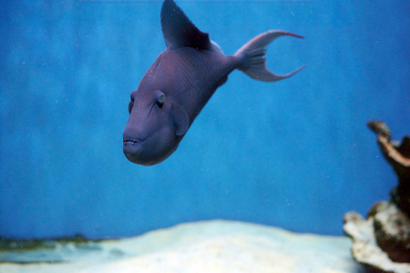 Odonus niger also known as the red-toothed triggerfish is a triggerfish of the tropical Indo-Pacific area, the sole member of its genus Stock Photo