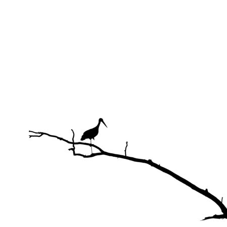 Silhouette of Stork Standing on One Leg on Dry Tree Branch. Black and white image id based on photo.