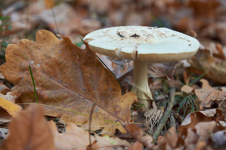 False death cap, or Citron Amanita, Amanita citrina (previously also known as Amanita mappa)