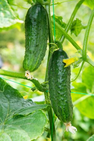 Fresh juicy cucumbers growing in greenhouse