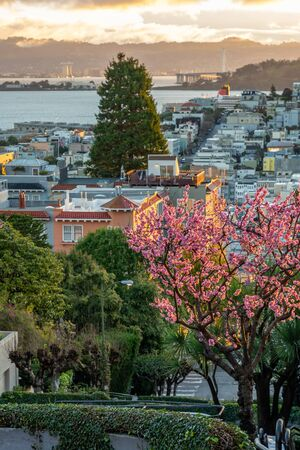 Sakura blossoms on the crookedest street in the world Lombard Street. San Francisco is in early morning light.