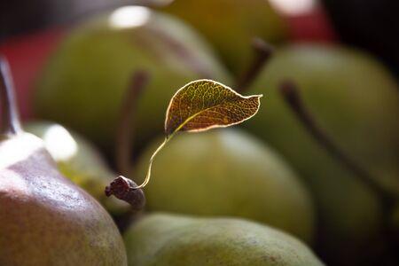 Pear leaf in opposite light. streaks shine.