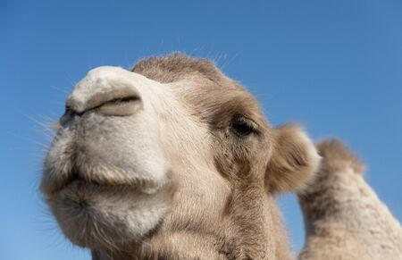 Bactrian camel close-up portrait with one of two humps visible 免版税图像