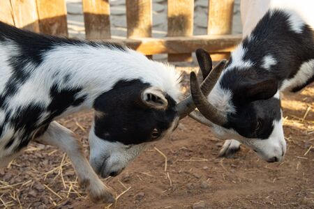 Two young  patchy goats are butting for fun