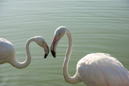 Romanic couple of flamingo. Two birds are close one to another.