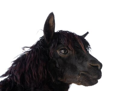 Head of black alpaca on white background