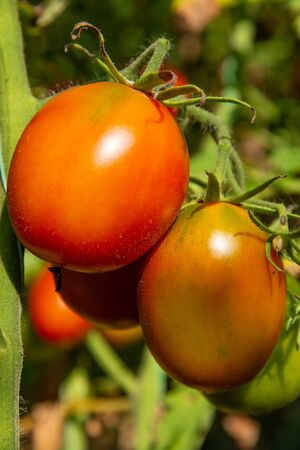 Branch of oval grape tomato growing in open ground Stock fotó
