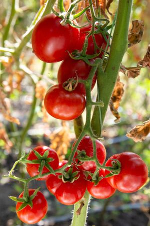 Late summer red tomatoes on the bush. Leaves are drying already Stock fotó