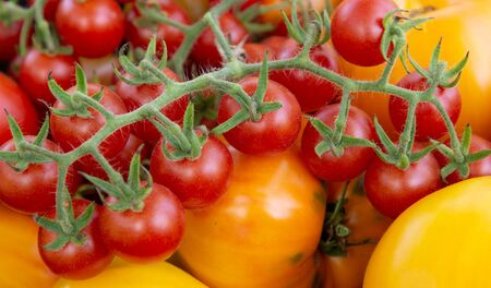 Cluster of small red cherry tomatoes or Tomaccio on a branch
