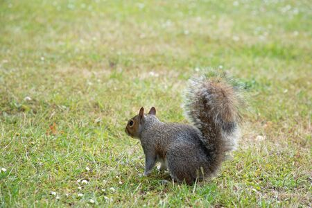 Eastern gray squirrel on the ground covered with green grass in London, Great Britain