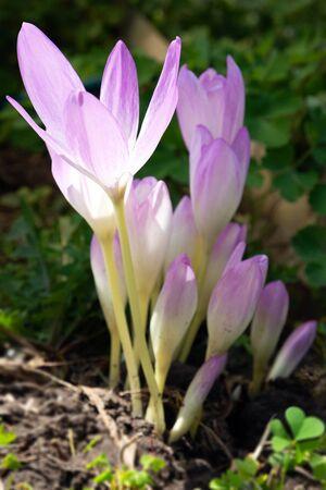 Colchicum autumnale flower commonly known as autumn crocus, meadow saffron or naked ladies Archivio Fotografico - 133401854